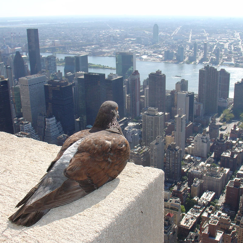 pigeon-overlooking-new-york-city