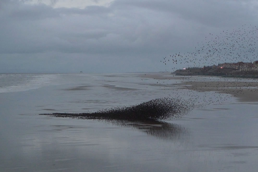 Winter-murmuration-of-starlings-on-the-beach