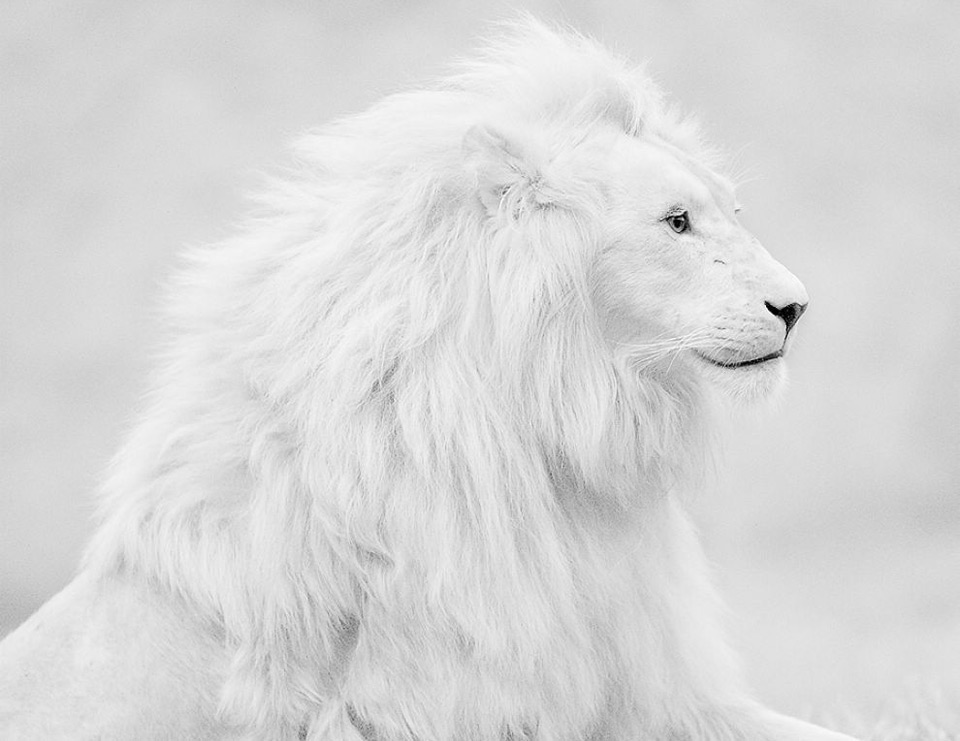 beautiful-albino-lion