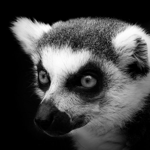 black-and-white-fine-art-animal-portraits-by-lukas-holas-1