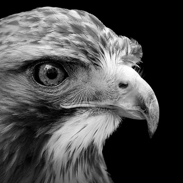 black-and-white-fine-art-animal-portraits-by-lukas-holas-11