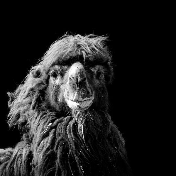 black-and-white-fine-art-animal-portraits-by-lukas-holas-6
