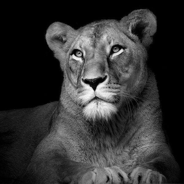 black-and-white-fine-art-animal-portraits-by-lukas-holas-8