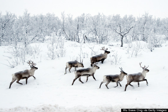 o-WILD-REINDEER-NORWAY-570