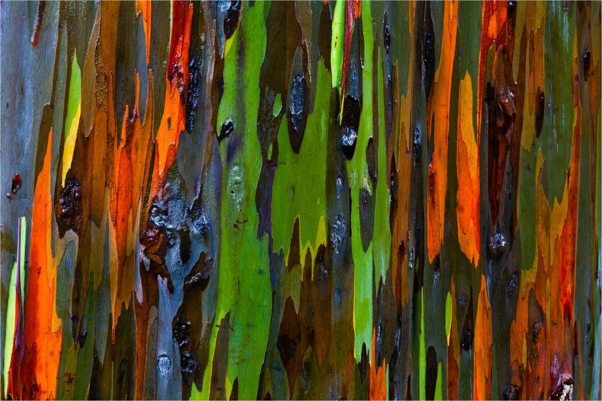 rainbow-eucalyptus-chris