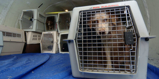 Animal Victims Of Katrina Are Evacuated From Mississippi