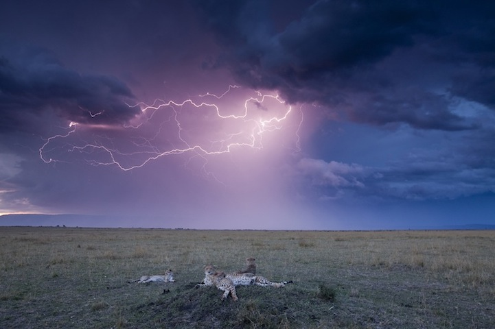 Cheetahs and Lightning Storm, Masai Mara Game Reserve, Kenya