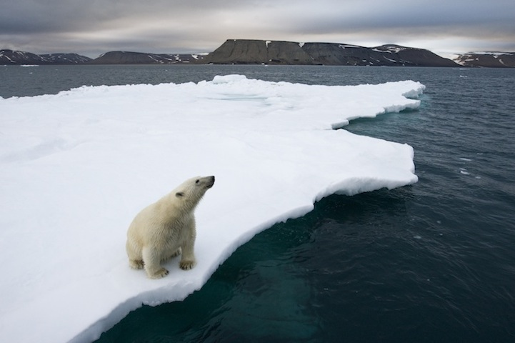 Polar Bear on Iceberg, Svalbard, Norway