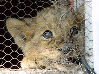 canned-hunting-bb-lion
