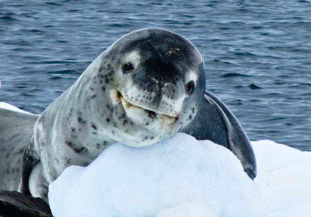 A-Leapord-Seal-In-Antarctica-610x425