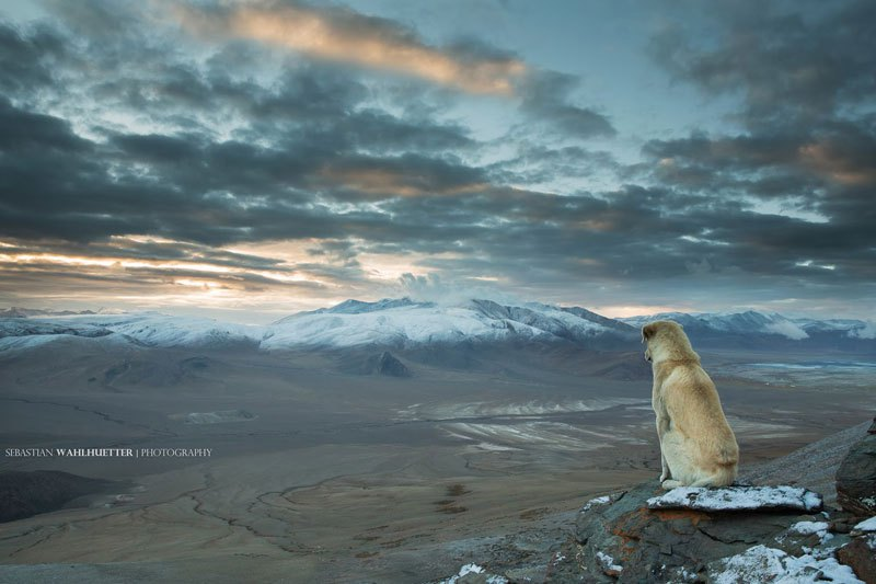 himalayan-dog-on-mountain-looking-out-sebastian-wahlhuetter