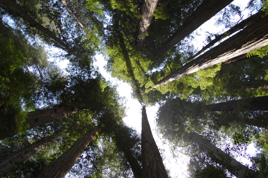 redwood-canopy