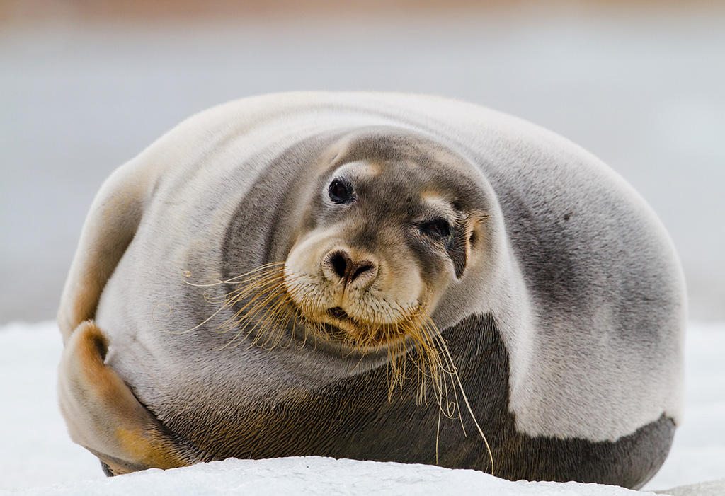 bearded_seal_Espen