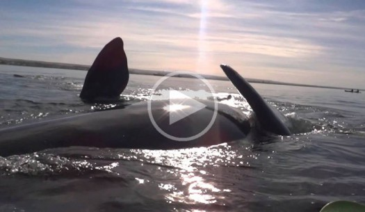 kayak-lifted-out-of-water-by-whale-video-2