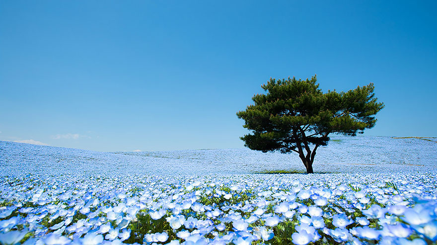 nemophilas-field-hitachi-seaside-park-1