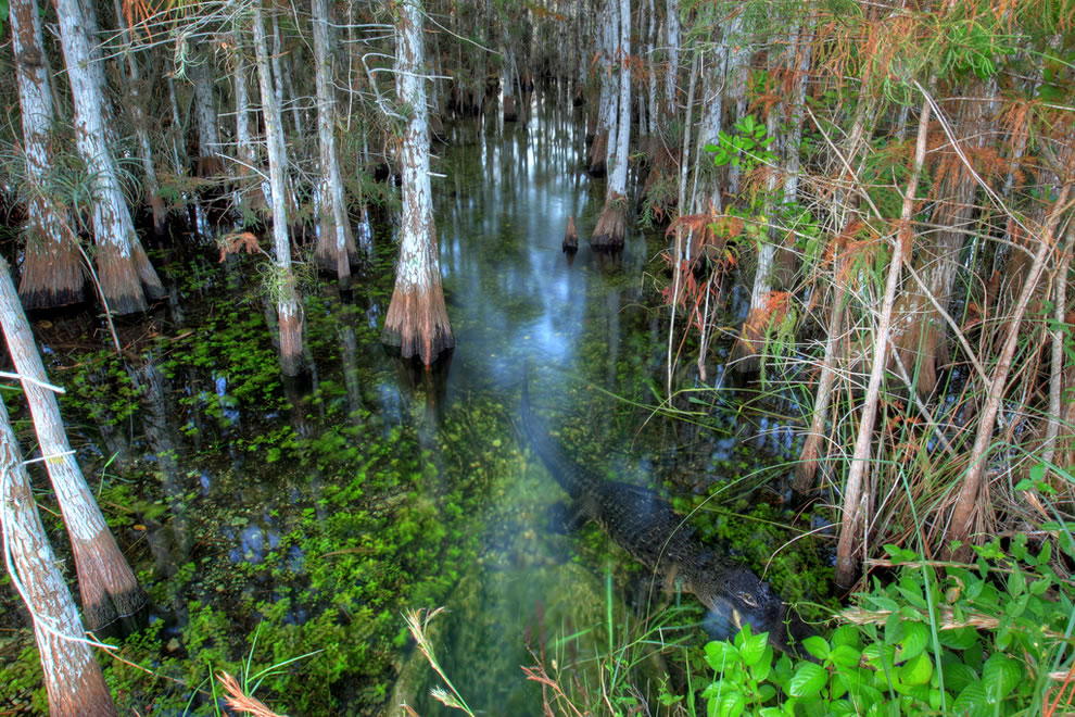 Alligator-among-cypress-at-Everglades-National-Park