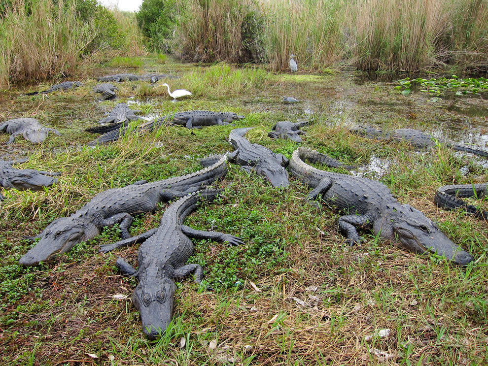 American-alligators-in-Everglades-National-Park-as-seen-from-Anhinga-Trail