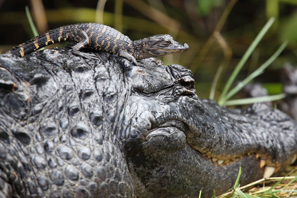 Baby-alligator-playing-with-mom-Everglades