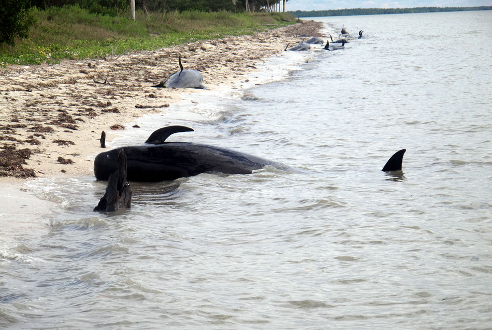 Beached-whales-Highland-Beach-Everglades-National-Park
