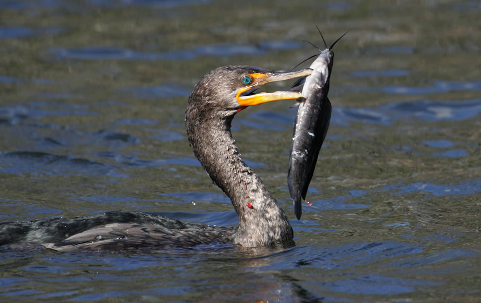 Double-Crested-Cormorant-fishing-at-Everglades-National-Park