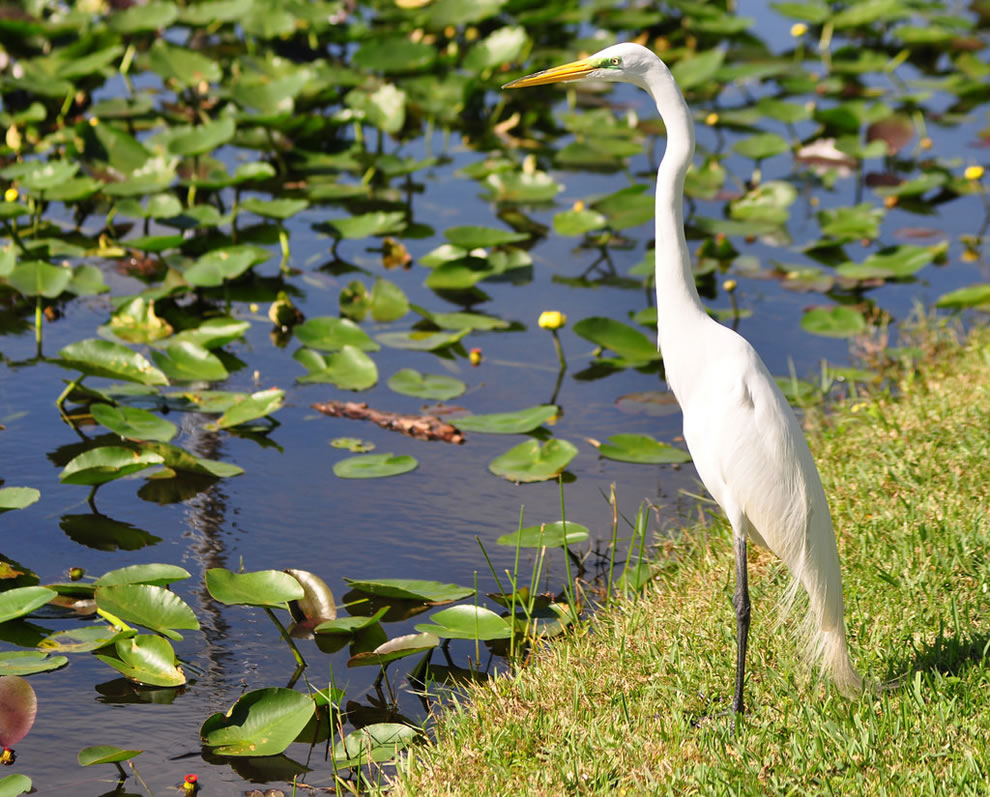 Great-Egret-in-the-Everglades