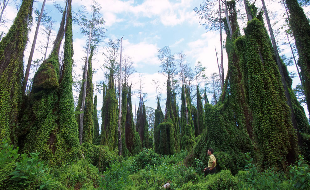Old-world-climbing-fern-infestation-in-southern-Florida