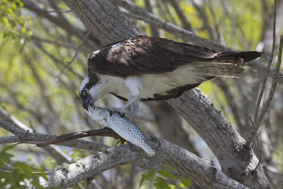 Osprey-and-Spotted-Seatrout-at-Everglades-National-Park